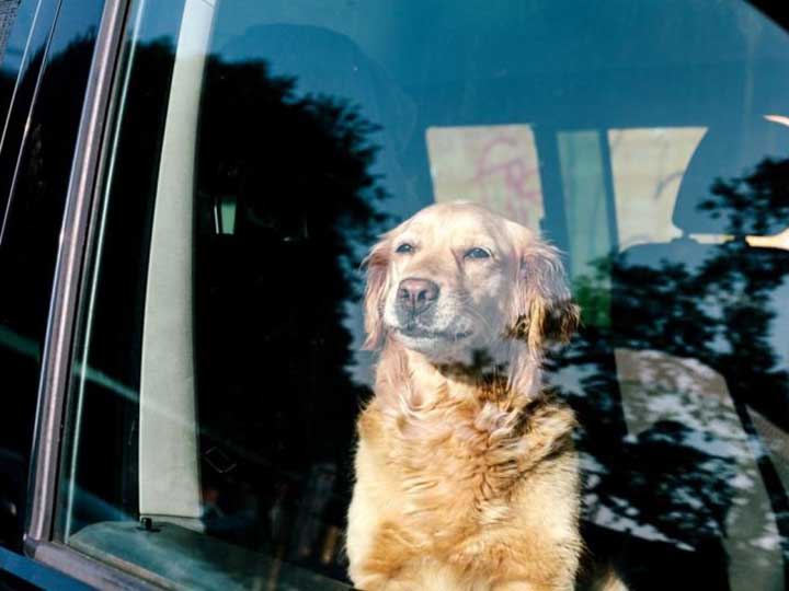 experimento calor perros auto